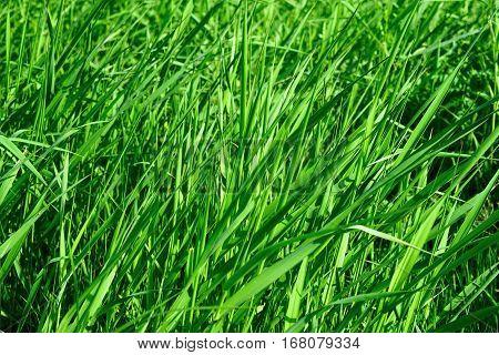 a Bright long green grass summer background.