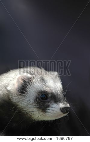 portrait of a tame pet ferret against dark background poster
