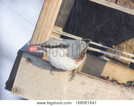Eurasian or wood nuthatch Sitta europaea close-up portrait at bird feeder with nut in beak selective focus shallow DOF