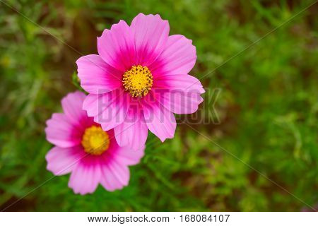 Pink cosmos flower (Cosmos Bipinnatus) closeup with green blurred background