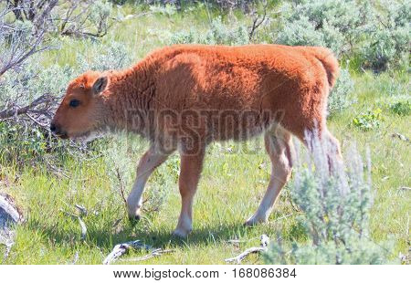 Baby Bison Buffalo Calf In The Lamar Valley In Yellowstone National Park In Wyoming Usa