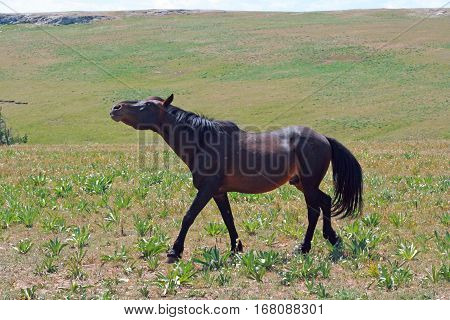 Black Mustang Wild Horse Stud Stallion snaking aggressively driving his mares in the Pryor Mountains MT