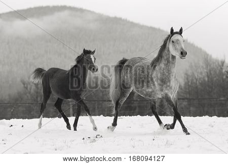 Grey Arabian Mare and Filly trotting on snow