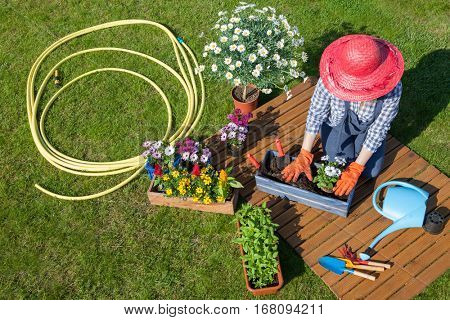 Woman sitting on the lawn, wearing gloves, straw hat potting osteospermum flowers. Gardening concept.