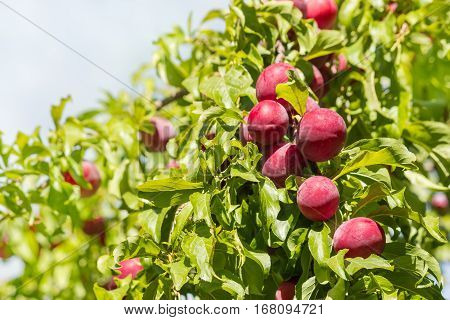 red mirabelle plums ripening on plum tree