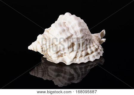 Single sea shell of marine snail on black background reflection