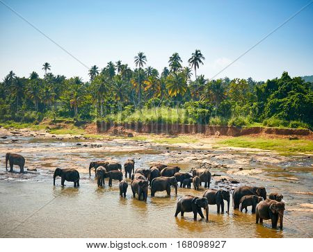 Elephants bathing. Sri lankan elephants in the river
