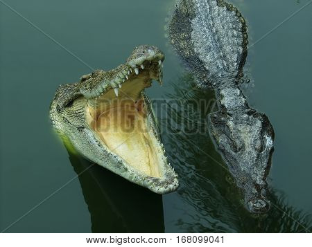 Two Siamese freshwater crocodiles on river  and river bank