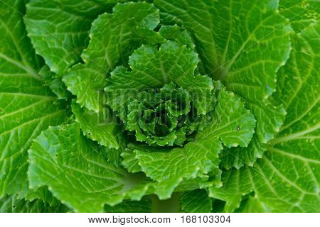 Fresh green lettuce, background, closeup, green, nature