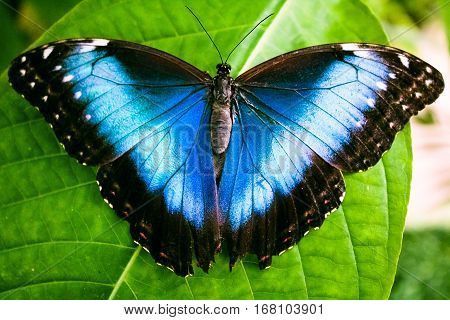Blue Morpho Butterfly (Morpho peleides) on green leaf