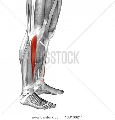 Concept or conceptual 3D illustration human lower leg anatomy or anatomical and muscle isolated on white background metaphor to body, tendon, fit, foot, strong, biological, gym, fitness health medical
