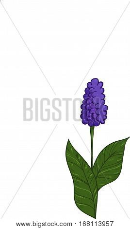 Illustration of colorful hyacinth and black and white hyacinth. Set of hand drawn inky hyacinths for coloring. Template for coloring book stickers prints etc.