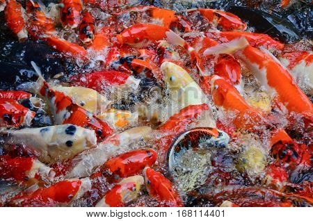 The swimming colorful carps in the  pond