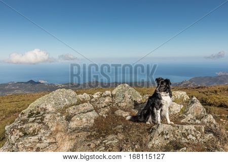 Black & white border collie sheepdog sitting on a rocky outcrop at Col de Battaglia in the Balagne region of Corsica with the red rock of L'Ile Rousse in the distance and the Mediterranean sea