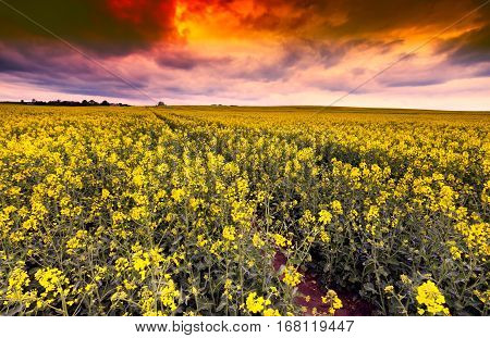 Blooming Rape Field Under Dramatic Evening Sky