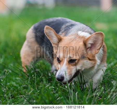 Photo of Pembroke Corgi Dog Portrait. Welsh Corgi Dog on Green Grass Field