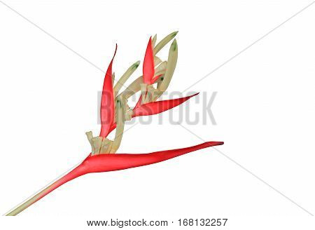 bird of paradise Beautiful red flower Strelitzia Reginae isolated on white background and clipping path