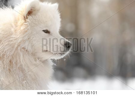Cute samoyed dog in park on winter day, closeup