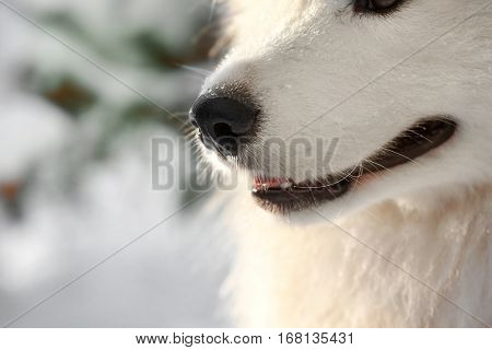 Cute samoyed dog outdoors, closeup
