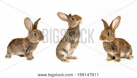 Three brown rabbits on a white background