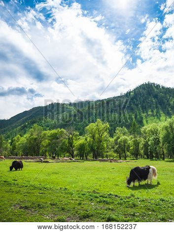 Yaks grazing on the meadow at background of mountains. Hairy cows.