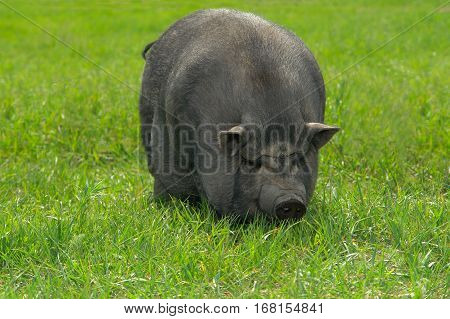 big old pig on a green pasture