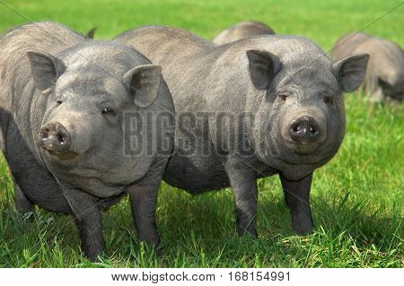 two big old pigs on a pasture