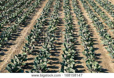 Plantation of cabbage or red cabbage crops in early stage of their growth. The vegetable plants have been planted in rows on the field.