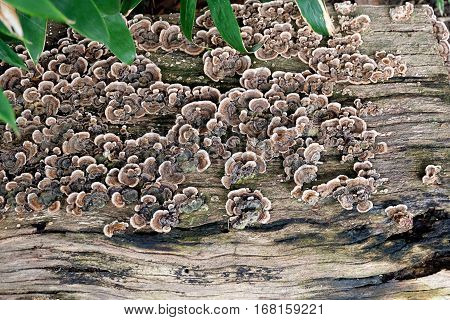 Organic, biological background - mushrooms / fungus in colony growing on a flat wooden surface. The fungus, trametes versicolor, is also called Turkey Tail due to its colorful pattern. The wood or bark is dead and rotting but the new life grows on it show