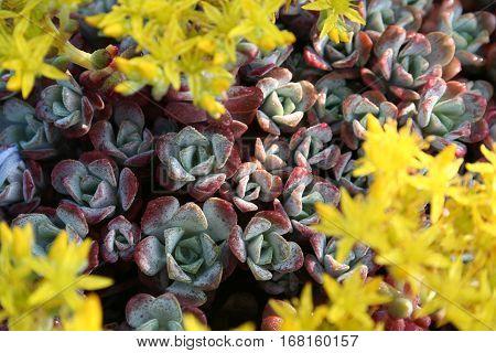 Stonecrop (Sedum) with yellow flowers. Closeup photo.