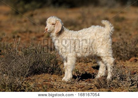 A young angora goat kid on a rural farm