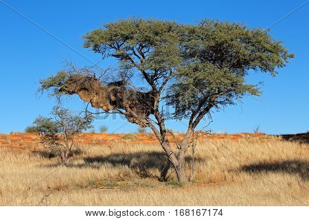 African thorn tree with communal nest of sociable weavers (Philetairus socius), Kalahari, South Africa