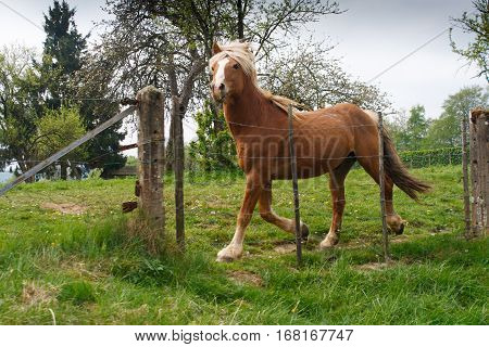 Blond Belgian draft horse galloping in spring pasture