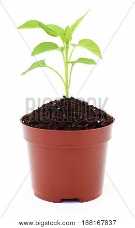 Growing new little plant in pot isolated on white.