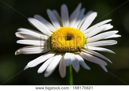 The Beautiful sunny chamomile flowers close up