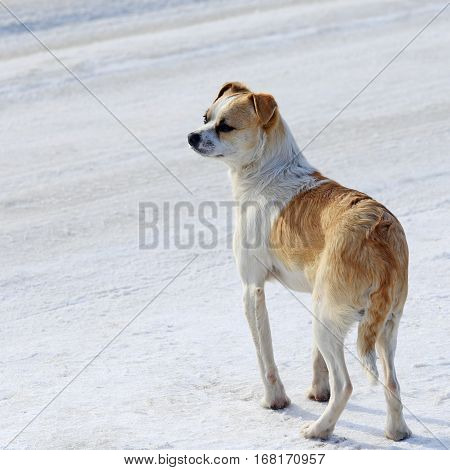 Portrait Of A White-red Doggy