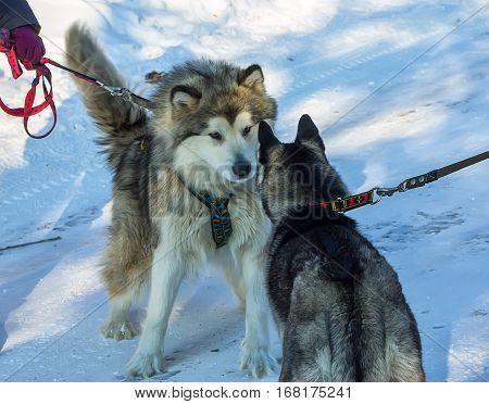 Alaskan Malamute And Husky Are Opposite Preparing To Fight