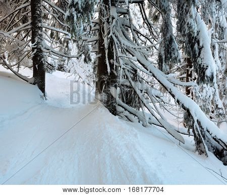 Winter  Mountain Primeval Forest