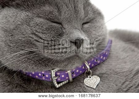portrait of a sleeping cat in a purple collar. horizontal photo.
