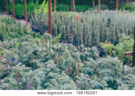 Blurred view of juniper bushes, close up