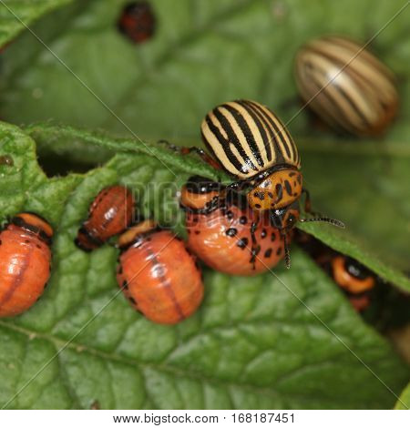 Colorado Beetles And Larvae