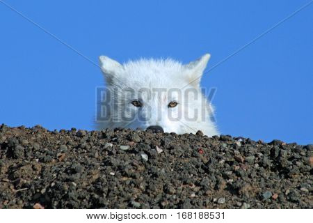 Headshot of an arctic wolf peeking over a hilltop