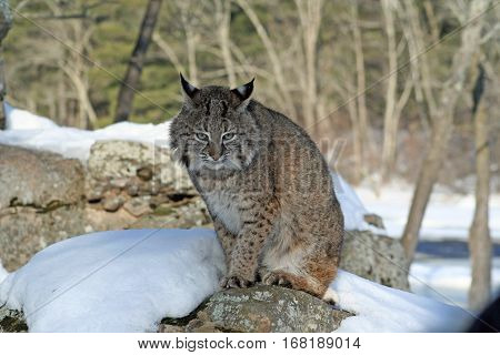 A bobcat sitting on a snow-covered rock