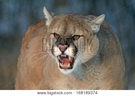 An angry cougar snarling with fangs bared