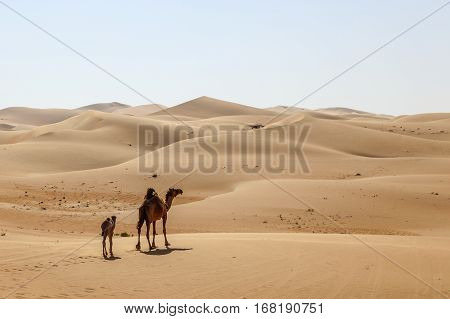 Mother camel with her calf walking through the desert dunes. Liwa oasis area Emirate of Abu Dhabi United Arab Emirates