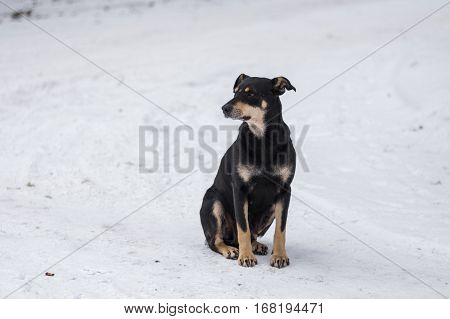 Black stray nursing mother dog sitting on a winter street and looking around