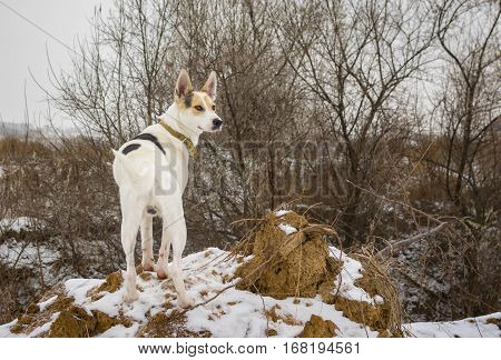Outdoor portrait of white mixed breed dog watching nearest to his home territory standing on a loamy hillock