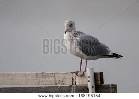 A ringed-billed gull setting on a railing