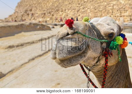 The Camel and Giza Pyramids - Cairo, Egypt