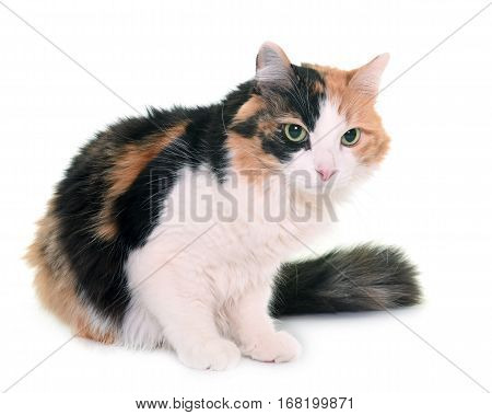 tricolor cat in front of white background